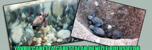 Yavru caretta carettalar denizle buluşuyor