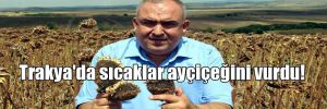 Trakya'da sıcaklar ayçiçeğini vurdu!