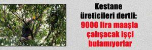 Kestane üreticileri dertli: 9000 lira maaşla çalışacak işçi bulamıyorlar