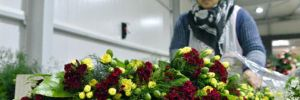 Noel çiçekleri Antalya'dan Avrupa'ya dağıtılıyor