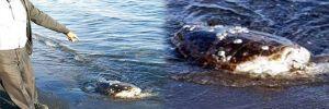Bodrum'da sahilde, başı kopmuş caretta caretta bulundu