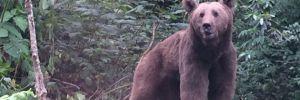 Arhavi'de, domuz tuzağına düşen ayı kurtarıldı