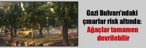 Gazi Bulvarı'ndaki çınarlar risk altında: Ağaçlar tamamen devrilebilir
