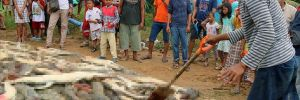 Köylüler yakınlarını yiyen timsahları birer birer öldürdü