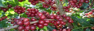 Dünyada kahve bitkisi tükenme riski altında!