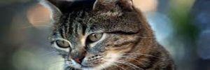 İki milyon başıboş kediyi öldürmek için havadan zehirli sosis atıyorlar