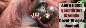 ABD'de bazı goril türleri üzerinde Covid-19 aşısı denendi