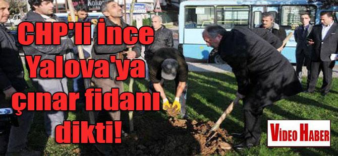 CHP'li İnce Yalova'da çınar fidanı dikti!