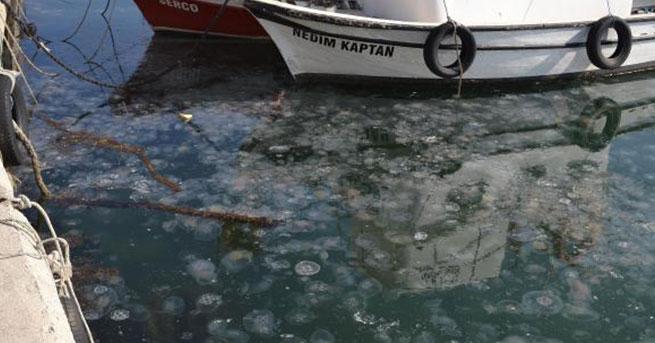 Gelibolu'da denizanası istilası