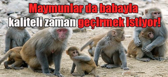 Maymunlar da babayla kaliteli zaman geçirmek istiyor!