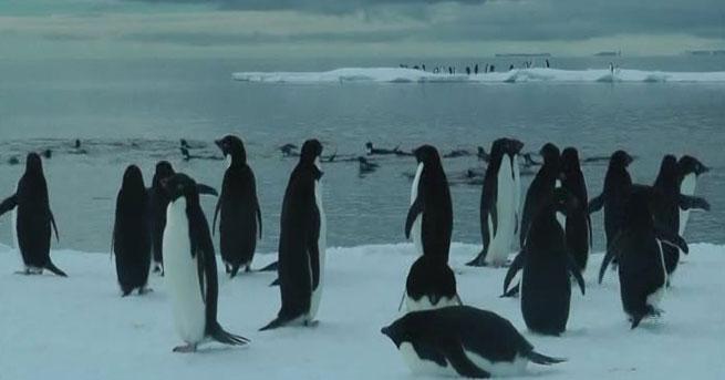 Dev buzdağı penguen kolonisini yok edebilir