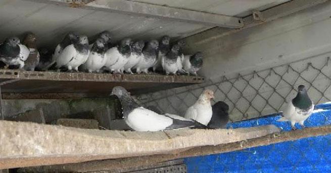 Güvercinler elde kaldı