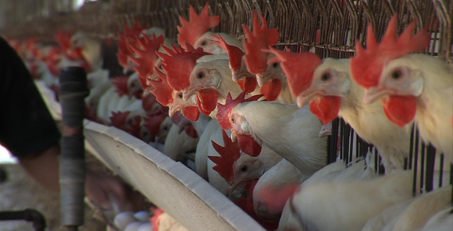Tokat'ta kuş gribi alarmı!..