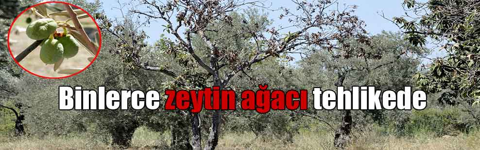 Binlerce zeytin ağacı tehlikede