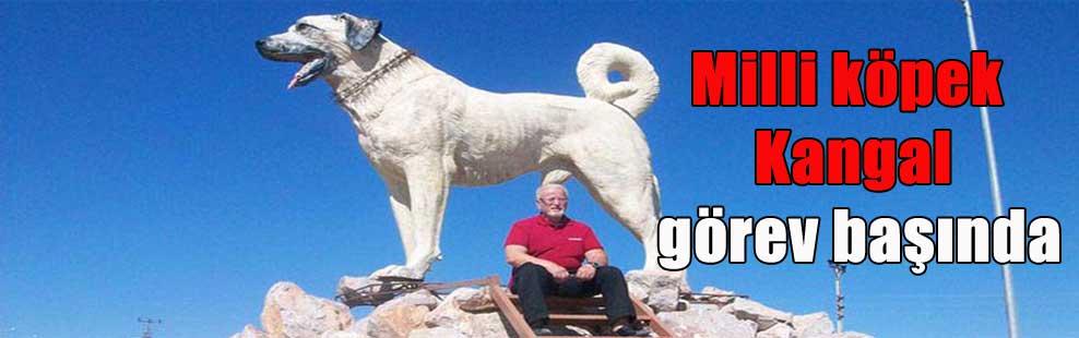 Milli köpek Kangal görev başında