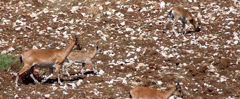 Yaşam alanları daralan yaban keçileri tarlalara iniyor