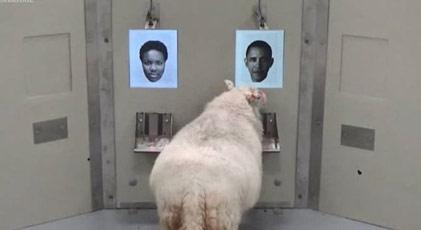 Koyunlar Obama'yı tanıdı