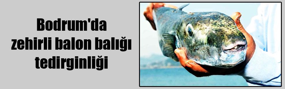 Bodrum'da zehirli balon balığı tedirginliği