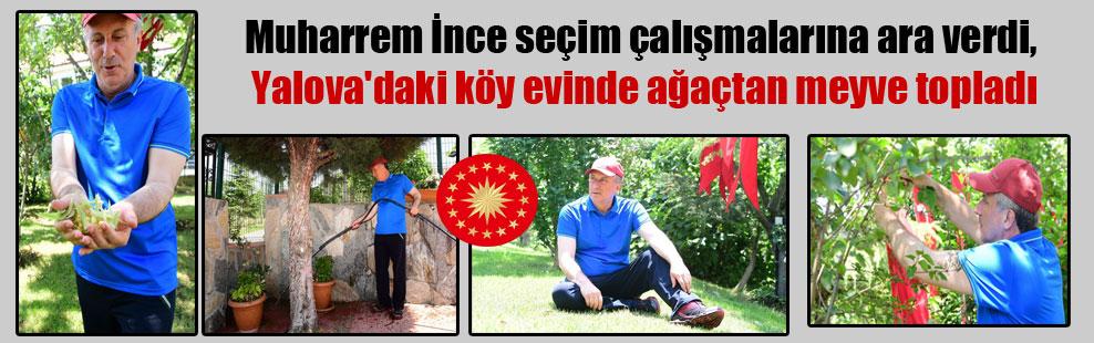 Muharrem İnce seçim çalışmalarına ara verdi, Yalova'daki köy evinde ağaçtan meyve topladı