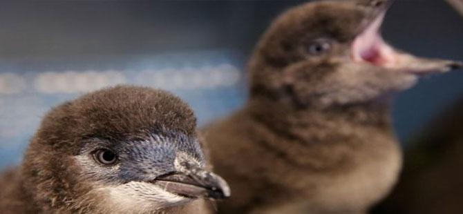 Altı pengueni döverek öldürdüren kişiye 49 saat kamu hizmeti cezası Avustralya'da büyük öfke yarattı