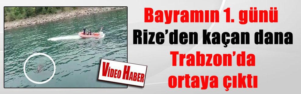 Bayramın 1. günü Rize'den kaçan dana Trabzon'da ortaya çıktı