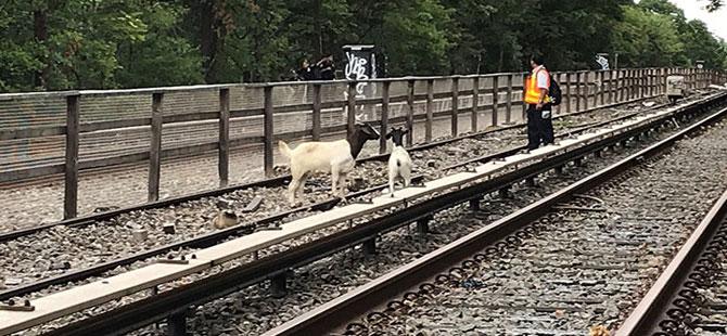 New York'ta metro seferlerine 'kaçak keçi' engeli