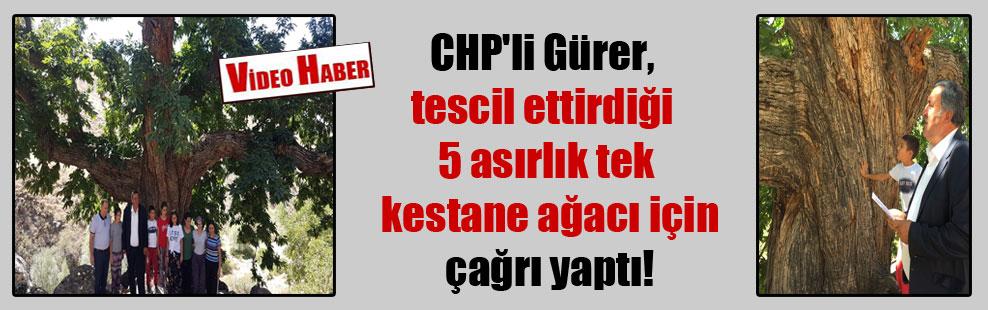 CHP'li Gürer, tescil ettirdiği 5 asırlık tek kestane ağacı için çağrı yaptı!