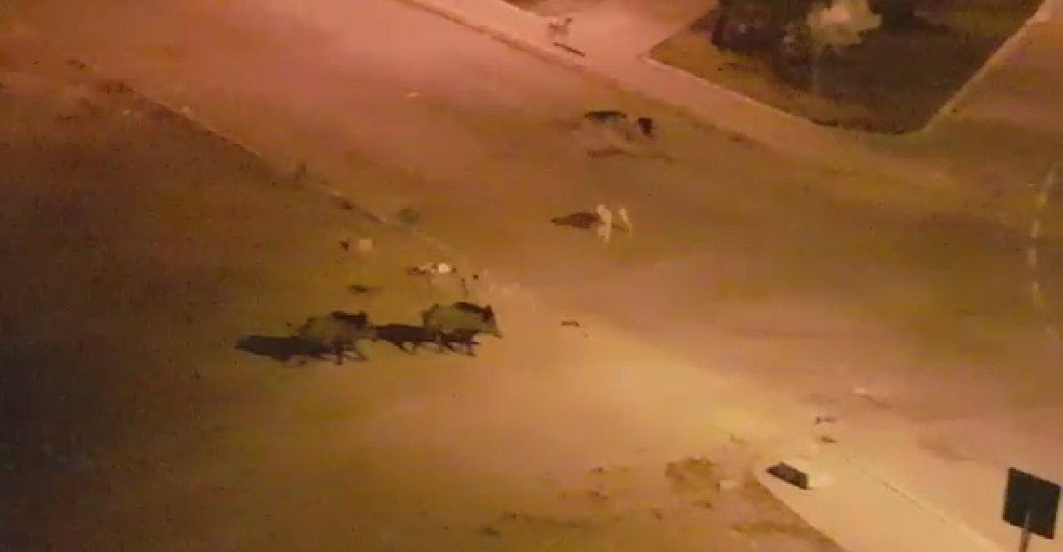 Yaban domuzları İzmir'de şehir merkezine indi
