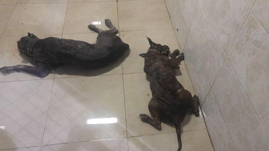 Polis ekipleri 2 Pitbull cinsi köpek sebebiyle içeriye giremedi