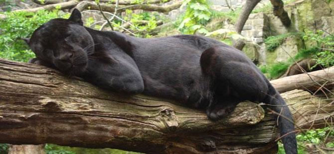Jaguar hayvanat bahçesinde selfie çekmeye çalışan kadına saldırdı