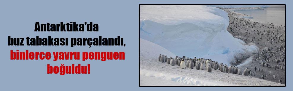 Antarktika'da buz tabakası parçalandı, binlerce yavru penguen boğuldu!