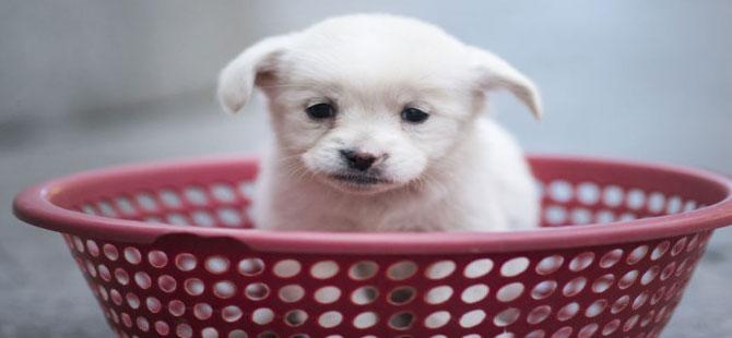 İnsanların ilgisini çekebilmek için evrimleşmişler: Köpekler, üzgün bakışlarını zamanla edinmiş