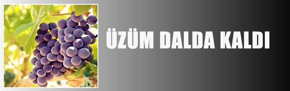 ÜZÜM DALDA KALDI