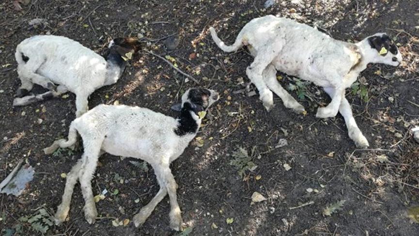 Koyunlar vebalı çıktı 7 mahalle karantinaya alındı