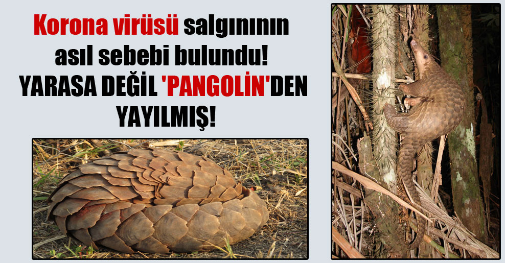 Korona virüsü salgınının asıl sebebi bulundu! Yarasa değil 'pangolin'den yayılmış!