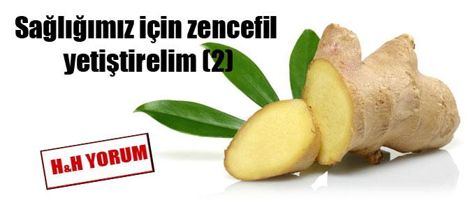 Sağlığımız için zencefil yetiştirelim (2)