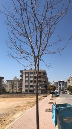 kuruyan ağaç 1