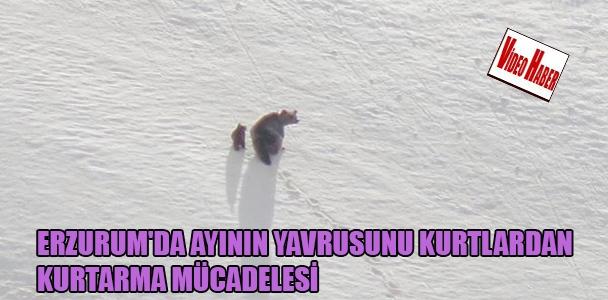 Erzurum'da ayının yavrusunu kurtlardan kurtarma mücadelesi