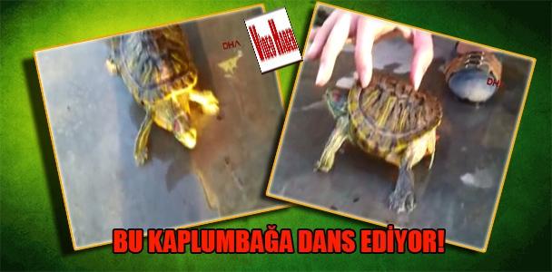 Bu kaplumbağa dans ediyor!